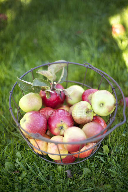 Close up shot of apples in metal basket on grass — Stock Photo