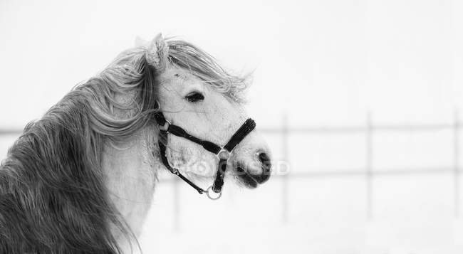 Side view of white horse in wind, black and white — Stock Photo