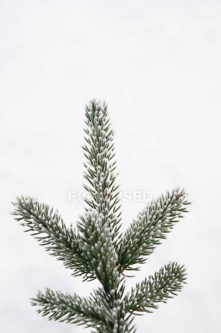 Front view of green treetop of spruce isolated on white background — Stock Photo