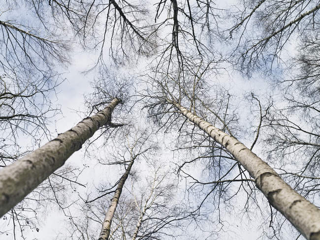 Low angle view of bare tree tops — Stock Photo