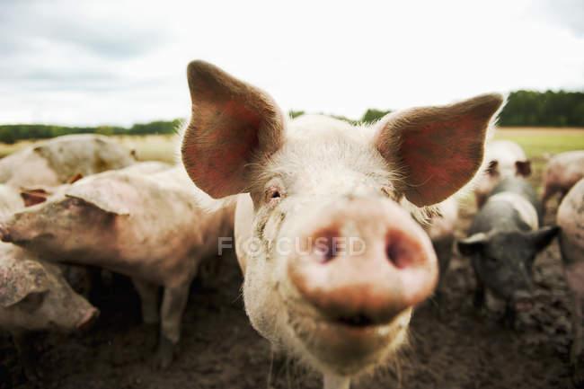 Vista frontal de cerdos mirando a la cámara - foto de stock