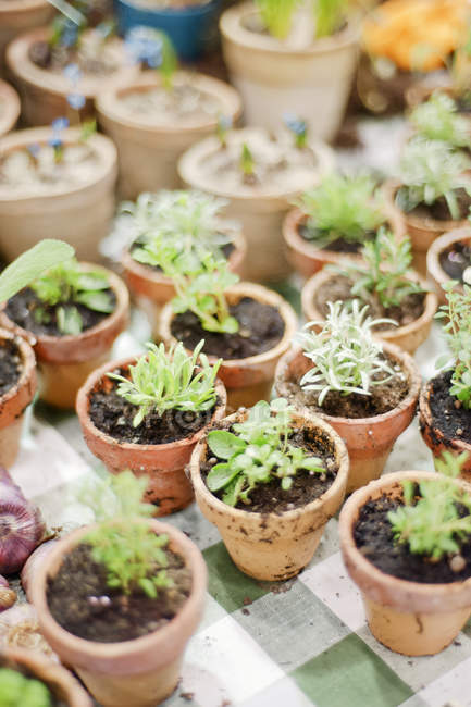 Green plants in small flower pots — Stock Photo