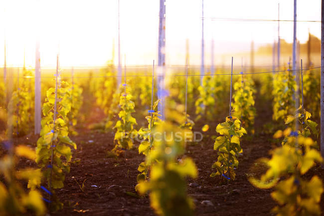 Grape vines on vineyard in sunset light — Stock Photo