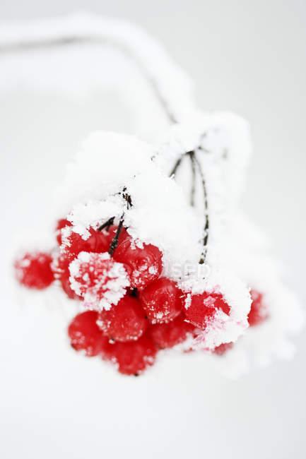 Close-up de bagas vermelhas cobertas de geada — Fotografia de Stock