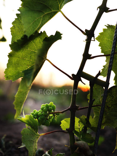 Green grapes on vine in sunset light — Stock Photo