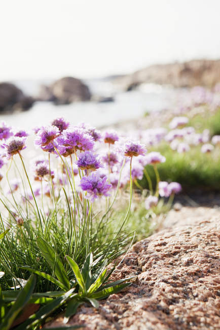 Pink wildflowers in bright sunlight — Stock Photo