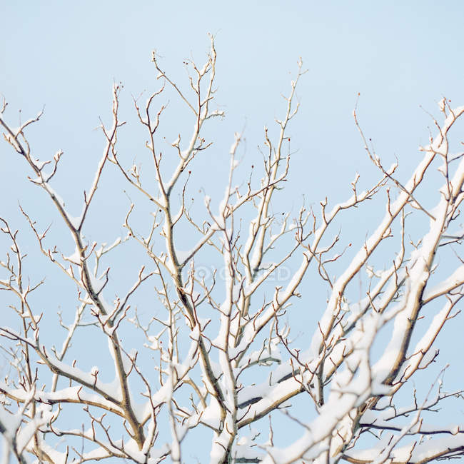 Snow covered tree branches on blue sky — Stock Photo