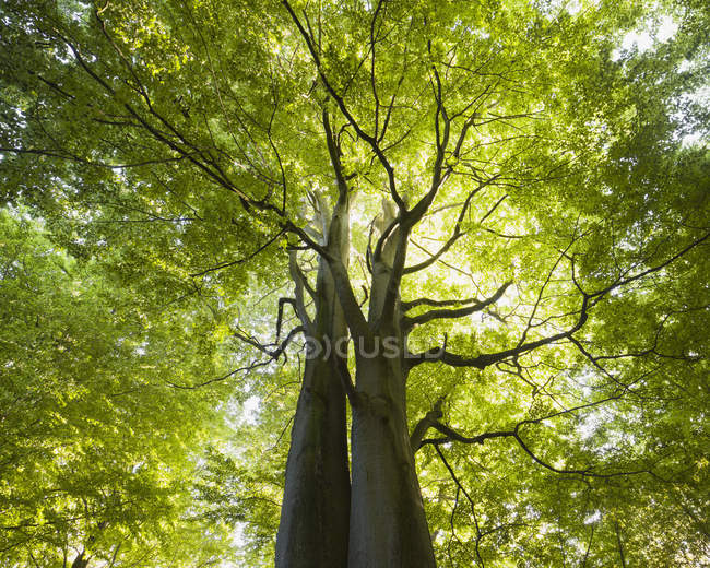 Low angle view of Beech tree backlit by sun — Stock Photo