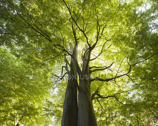 Vista de ângulo baixo de faia árvore iluminado pelo sol — Fotografia de Stock