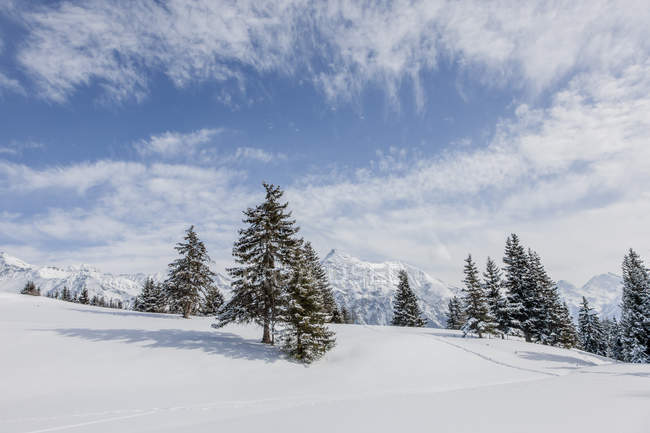 Spruce trees on snowy hill in sunlight — Stock Photo