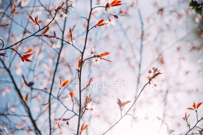 Primer plano de ramas de cerezo en flor - foto de stock