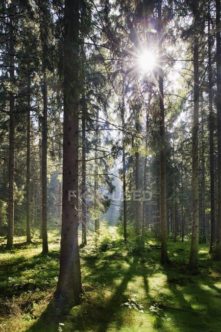 Pins et l'herbe verte en plein soleil — Photo de stock