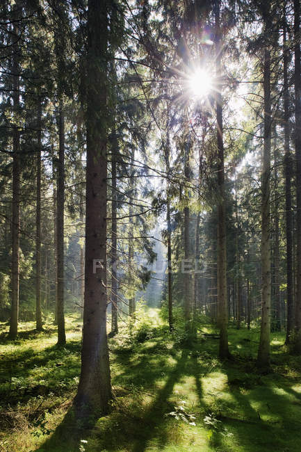 Сосны и зеленая трава при ярком солнечном свете — стоковое фото