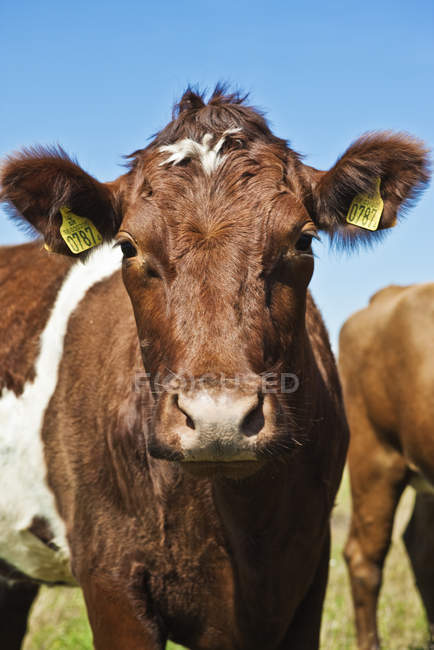 Close up shot of cow in bright sunlight — Stock Photo