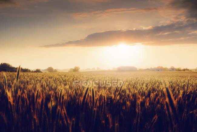Champ de blé au coucher du soleil en Suède — Photo de stock