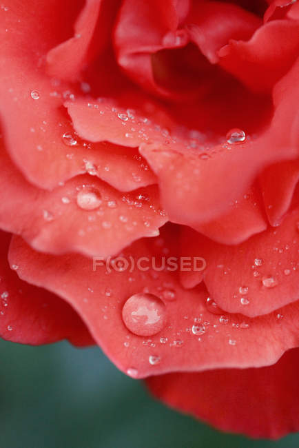 Close up shot of red rose petals with water drops — Stock Photo