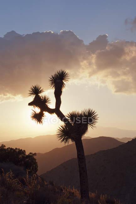 Джошуа дерева силует, захід сонця небо — стокове фото