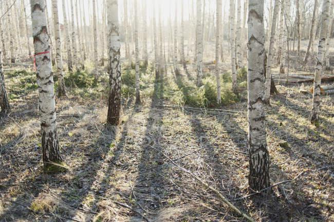 Vista de troncos de árbol iluminado bajo la luz solar - foto de stock