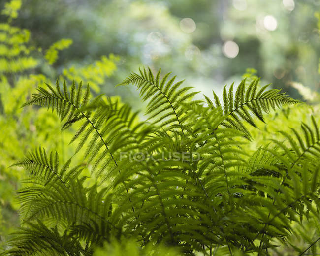 Green fern leaves in sun backlit — Stock Photo