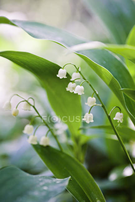 Close-up of lily-of-the-valley with defocussed background — Stock Photo