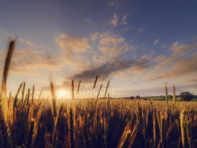 Weizenfeld unter bewölktem Himmel Sonnenuntergang — Stockfoto