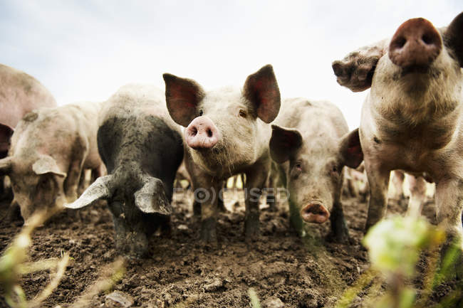 Front view of dirty pigs in pasture — Stock Photo