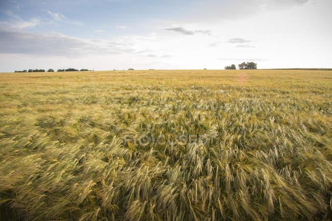 Вид ржавого поля под голубым облачным небом — стоковое фото