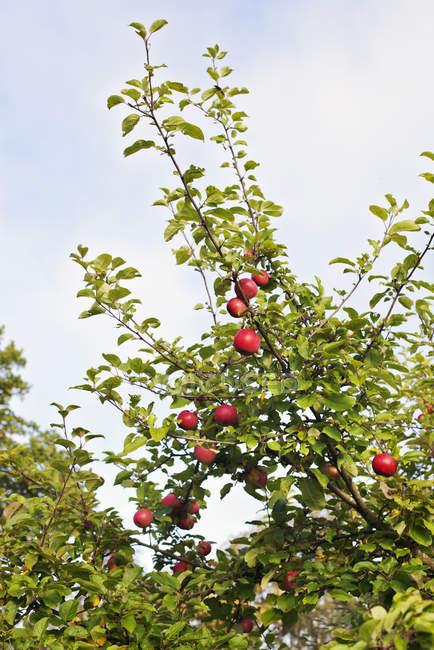 Maçãs vermelhas na árvore de maçã com céu azul no fundo — Fotografia de Stock