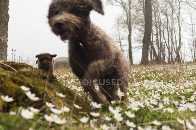 Бег Lagotto romagnolo собака и щенок — стоковое фото