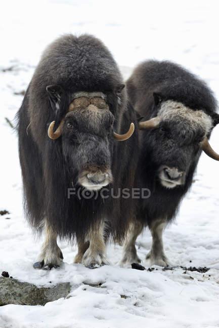 Вид спереди два бизонов в зоопарке — стоковое фото