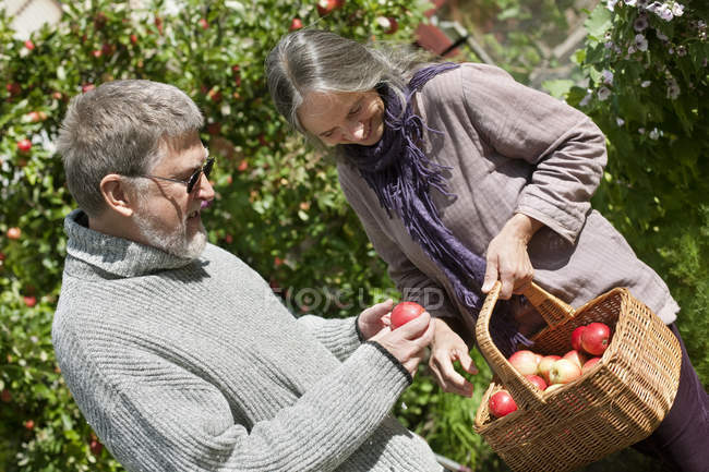 Senior couple picking apples to basket in garden — Stock Photo