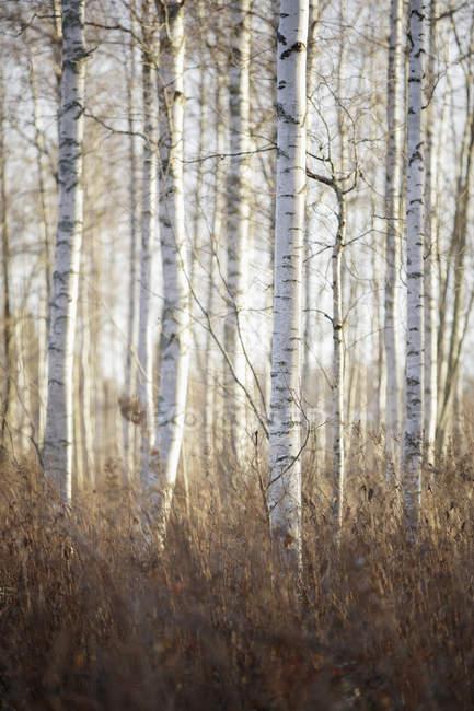 Troncs de bouleaux en forêt d'automne — Photo de stock