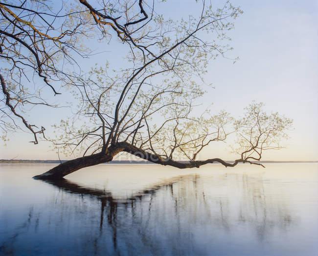 Salgueiro refletindo na água do lago — Fotografia de Stock