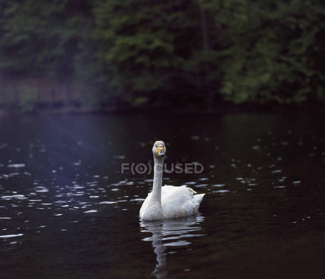 Cigno bianco che si riflette in acqua increspata — Foto stock