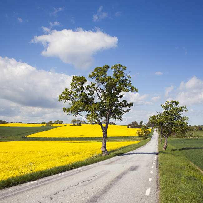 Road in rural landscape with green trees and canola field — Stock Photo
