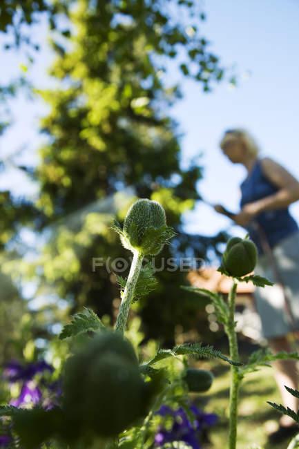 Mujer regando las amapolas, enfoque diferencial - foto de stock