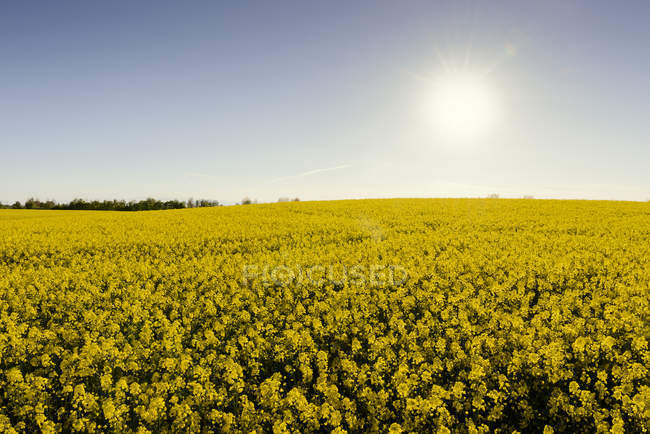Blooming yellow oilseed field in sunset light — Stock Photo