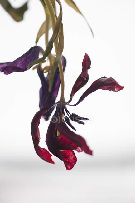Красный выцветающие тюльпаны изолированы на белом фоне — стоковое фото