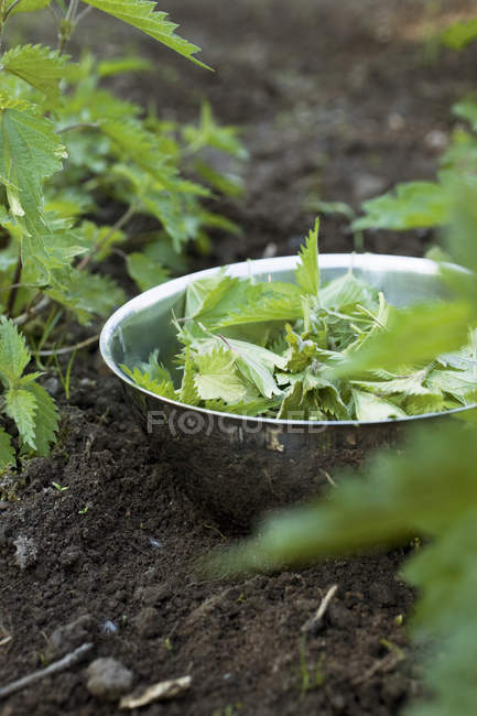 Close up shot of nettles leaves in bowl — Stock Photo