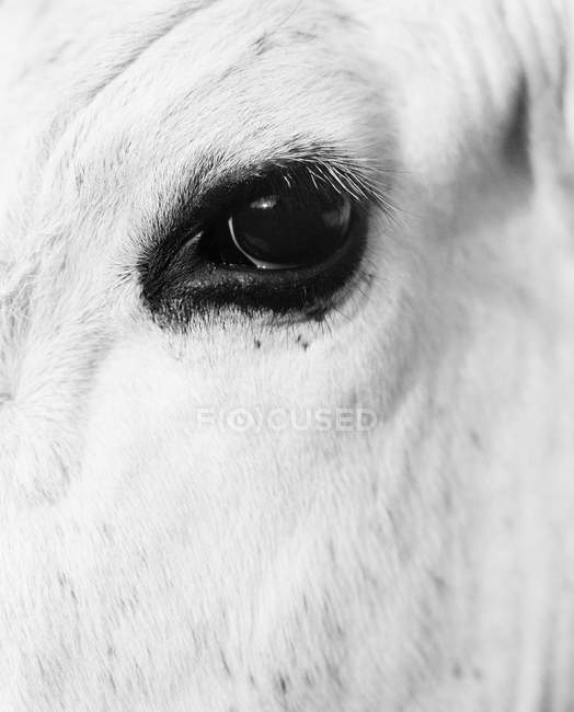 Close up view of white horse eye, black and white — Stock Photo