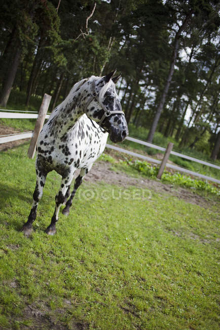 Spotted horse on green grass beside fence — Stock Photo