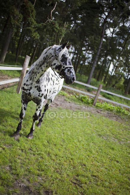 Пятнистая лошадь на зеленой траве рядом с забором — стоковое фото
