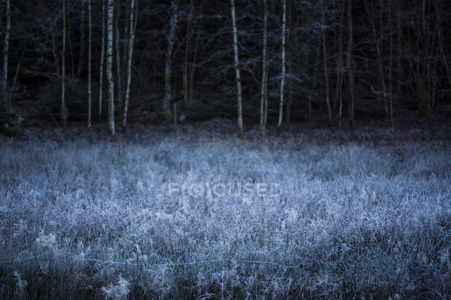 Frost covered plants in meadow, forest on background — Stockfoto