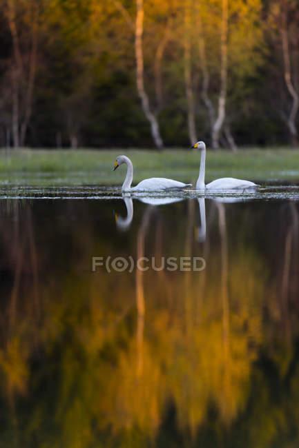 Due cigni bianchi che si riflettono nell'acqua del lago — Foto stock