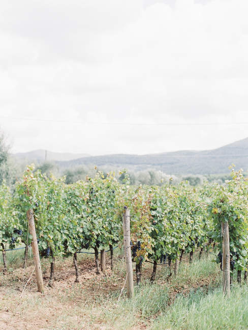 View of green Vineyard plantation with mountains on background — стоковое фото