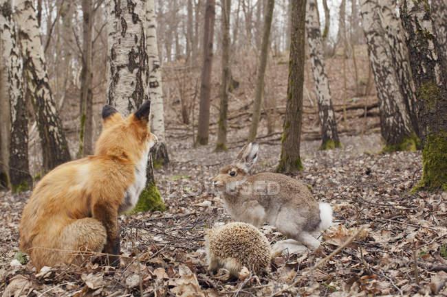 Fox, la liebre y el erizo en bosque del otoño - foto de stock