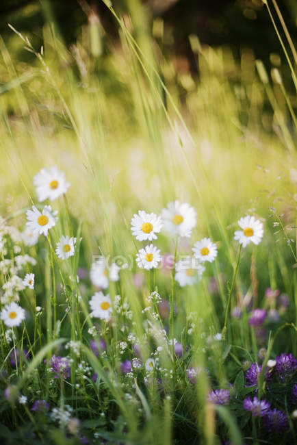 Wild camomiles growing on green meadow — Stock Photo