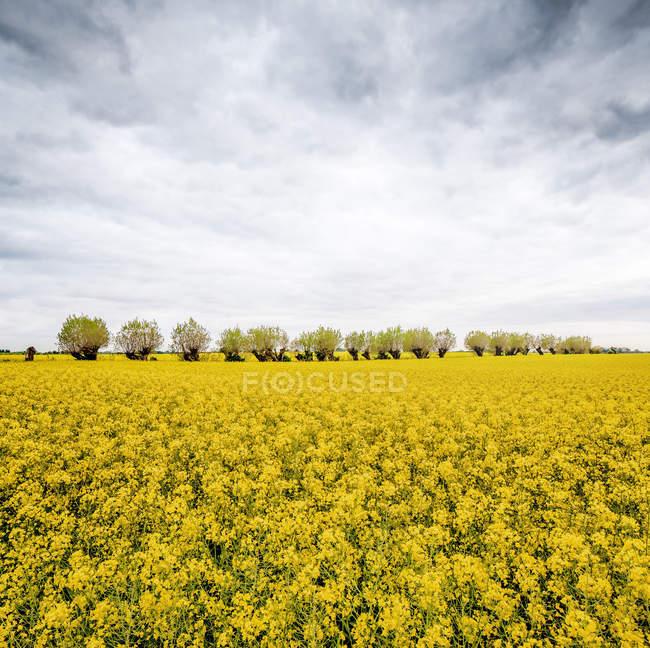 Árvores no meio do campo de colza sob céu nublado — Fotografia de Stock