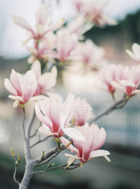 Pink magnolia in bloom with defocussed background — стоковое фото