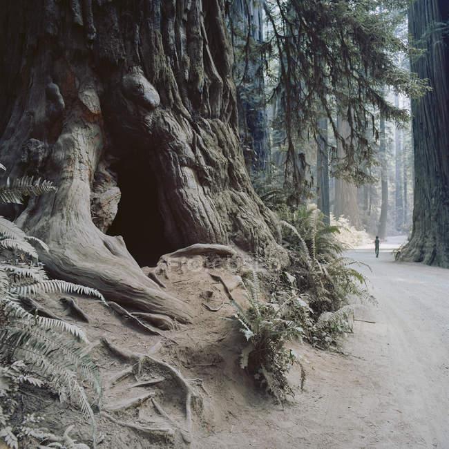 Parque Estadual Jedediah Smith Redwood — Fotografia de Stock
